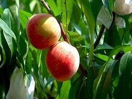 新竹泰崗水蜜桃