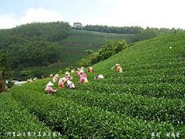 阿里山茶區