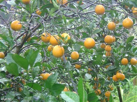 果樹認養開放募集中