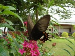 庭院花叢中訪花的蝴蝶