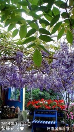 愛上紫藤花