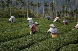 高山手採茶葉